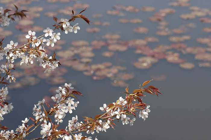 a picture called Withering Sakura should be here...