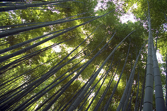 a picture called Bamboo forest should be here...
